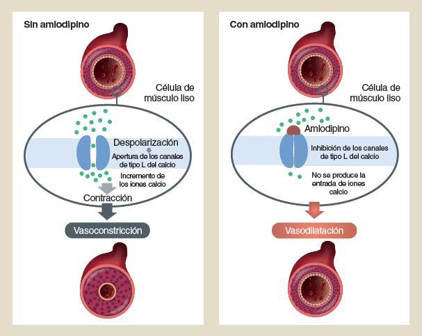 mecanismo de bloqueadores de los canales de calcio en la dieta para la hipertensión