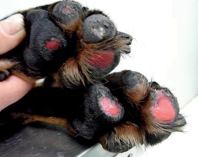 causas de edema generalizado en perros