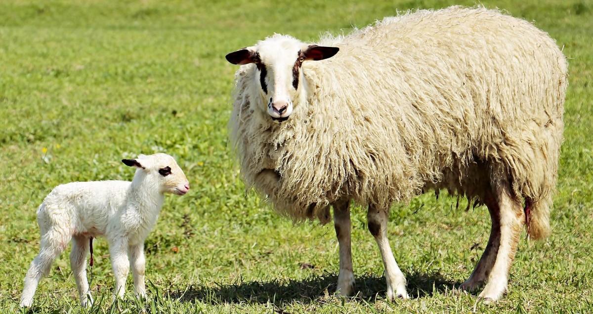 Qué factores influyen en la producción del calostro en ovejas? | PortalVeterinaria