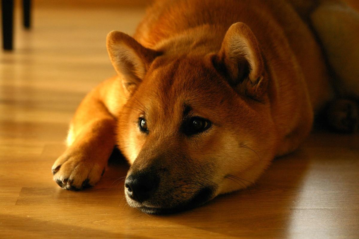 dimensioni normali prostata canes
