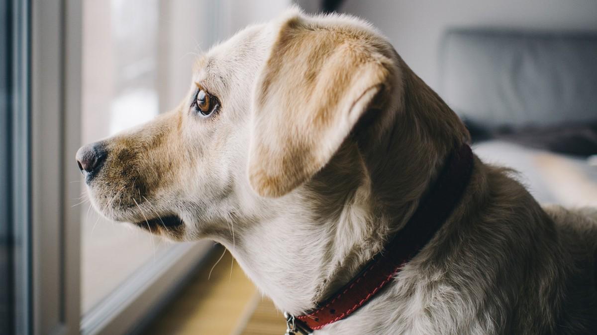 La pandemia aumenta los problemas de comportamiento y obesidad en las mascotas | PortalVeterinaria