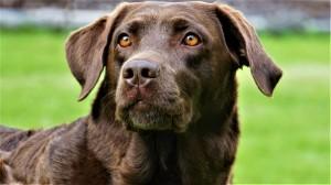 33af9927c ¿Se puede acortar el tratamiento de la dirofilariosis canina?